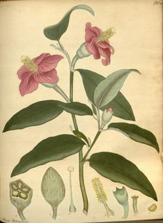 Norfolk Island Hibiscus (Hibiscus Patersonius).Plate from 'The Botanist's Repository' by Henry Andrews. Published 1797 by The author in London Biodiversity Heritage Library. archive.org