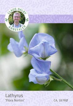 Lathyrus 'Flora Norton'