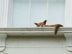 A sleepy fox was found taking a peaceful nap on second-story ledge in London.