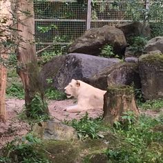 2 augustus 2017 - Ouwehand's Dierenpark (sinds 1932) met witte leeuwen, Afrikaanse olifanten, Siberische tijger, gorilla's, berenbos en natuurlijk de twee reuzepanda's.