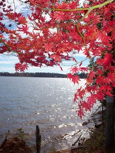 Red Maple at the river