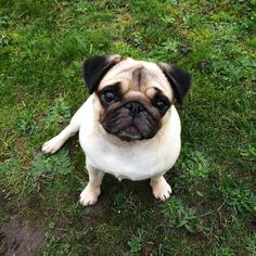 """""""Ok human bring it!! I've  earned them treats!! Workout  Pooping Peeing Running around naked """" by hekla_thepug"""