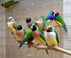 Wow :-o nice collection of Gouldian Finches in different colour morphs. Exotic Birds, Colorful Birds, Pretty Birds, Beautiful Birds, Bird Aviary, Parrot Toys, Australian Birds, Bird Cages, Cute Animal Pictures