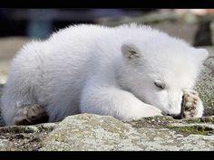 Baby polar bear sleeping - photo#6