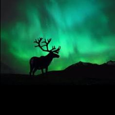 Aurora Borealis / Northern Lights and a caribou Alaska Northern Lights, See The Northern Lights, Northern Lights Wallpaper, Aurora Borealis, Beautiful Sky, Beautiful World, Beautiful Places, Hirsch Illustration, Northen Lights