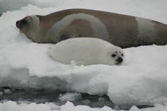 ■ Right at home ■ Ribbon seal mother & pup
