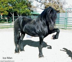 Ice Man, Friesian Stallion, Learning the Spanish Walk