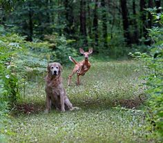 From Nathan Hagens - I had just given Q-Ball the hand signal to 'sit' and brought up my camera to focus and 2 fawns ran up behind him. This is the best of a sequence of shots I got. Quinn was (temporarily) scared - but then took up the chase. He quickly gave up for some reason (i dont think he can smell fawns). Seeing this in nature AND having my camera up and focused is....uncommon.