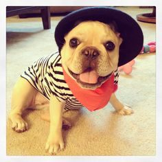 French Bulldog Frenchman for Halloween