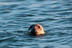 le phoque gris à Mousterlin - via www.penfoulic.com