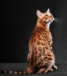 Bengal Cat:  Is A Bengal The Right Breed For You?  #cats #cat breeds