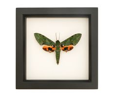 This beautiful green hawkmoth is related to the Death Head moth (famous in the Silence of the Lambs). Often mistaken for a hummingbird, this