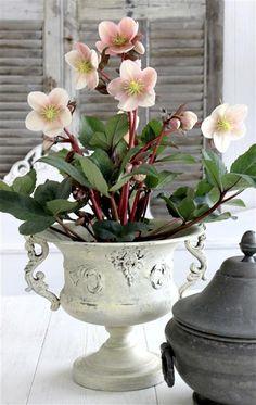 They are hellebores or the common name: lenten roses Indoor Planters, Indoor Garden, Outdoor Gardens, Planter Pots, House Plants Decor, Plant Decor, Lenten Rose, Garden Urns, Blooming Plants