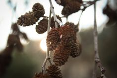 branches, cones, depth of filed, pine cones, sun wallpaper Kiefer, Cool Wallpaper, Pine Cones, Free Stock Photos, Herbs, Branches, Fruit, Cool Stuff, Sun