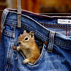 """""""Is that a squirrel in your pocket or are you just glad to see me?"""" - squirrel pocket of jeans hanging on the clothesline. Cute Baby Animals, Animals And Pets, Funny Animals, Beautiful Creatures, Animals Beautiful, Animal Pictures, Cute Pictures, Amazing Pictures, Cute Squirrel"""