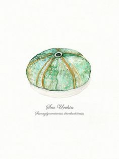 Sea Urchin/ watercolor print/teal/light green/aqua/tan/sea/ocean life/ Archival Print on Etsy, $20.00