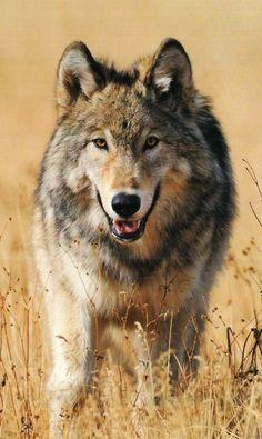 Love For Wolves