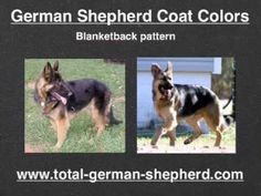 History of the change in the german shepherd over the years - YouTube