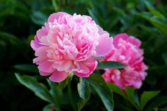 Cuidados de la Peonía - http://www.jardineriaon.com/cuidados-de-la-peonia.html #plantas