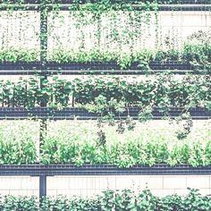 Il giardino verticale si può anche trasformare in orto di facciata. Bisogna solo usare alcune accortezze ed essere consapevoli dei limiti delle sottostrutture tecnologiche che ne rendono possibile il posizionamento in verticale.  La coltivazione ad orto a differenza del giardino che ha sola funzione decorativa richiederà maggiori cure la sostituzione periodica del terreno che tende ad impoverirsi con le coltivazioni (o la sua concimazione); se lorto è di piccole dimensioni non sarà…