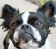 Another rare long-haired Boston Terrier
