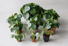 Pilea Peperomioides are Irresistible Charmers pilea peperomioides, pilea, houseplants, plants, house Chinese Plants, Chinese Money Plant, Vegetable Garden Planner, Indoor Flowers, Planting Vegetables, Landscaping Plants, Landscaping Design, Cool Plants, Outdoor Plants