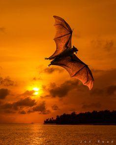 """Sunset Bat"" by Jon Read, via 500px."