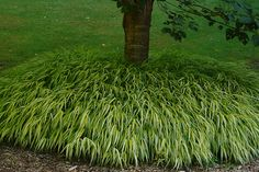 Hakonechloa macra Aureola (Alboaurea) | Knoll Gardens | Ornamental Grasses and Flowering Perennials