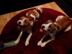 Veljekset❤️, Parson , dogs