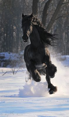Horse photography - Friesian horse gallops threw the snow.