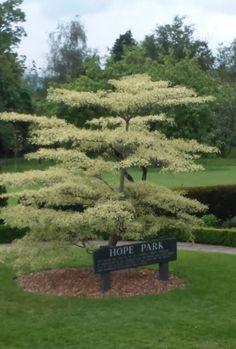 A Wedding Cake Tree in Hope Park, Keswick UK.  Photo by David Calderwood