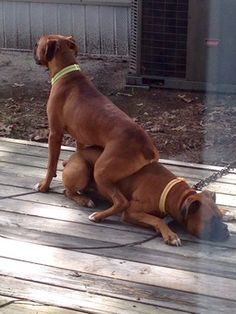 Why are boxers the only dogs that will sit and lie on each other in what seem like weird porno flick sex positions?