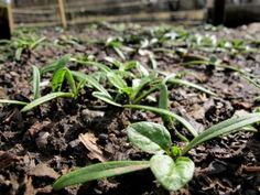 Using Essential Oils in the garden! They will help produce better quality plants and they can help with common problems in the garden. Organic Gardening!