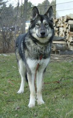 Pictures of Native American Indian Dog Dog Breed - http://www.training-a-puppy.info/pictures-of-native-american-indian-dog-dog-breed/