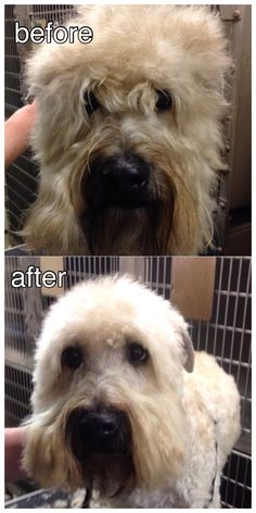 #WheatonTerrier beautification! #TLCPetHaven  #GroomingDogs