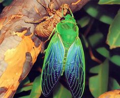 This is a great photo, as it is unusual to see a Greengrocer Cicada emerging from its chrysalis. Cyclochila australasiae, commonly known as the Greengrocer, is a species of cicada and one of Australia's most familiar insects. It is distributed through coastal regions of south-eastern Australia. It is one of the loudest insects in the world.