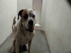 DODGER - URGENT - L.A. COUNTY ANIMAL CARE CONTROL: CARSON SHELTER in Gardena, CA - Adult Neutered Male Am. Bulldog