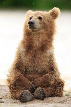 Animals nature animals, baby animals, animals and pets, cute animals, gri. Bear Photos, Bear Pictures, Cute Animal Pictures, Grizzly Bear Cub, Bear Cubs, Panda Bears, Tiger Cubs, Tiger Tiger, Bengal Tiger