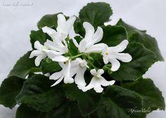 Lunar Lily (white)
