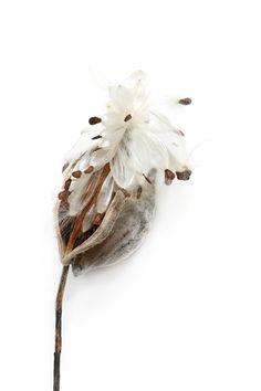 milkweed (mary jo hoffman)