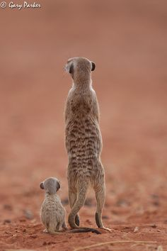 """Meerkat Lessons About Life - Aqui seu nome é suricato e aprendi que vivem em grupo , existem no grupo os""""vigias"""" que dão alarme de perigo ; e as babas que ficam com os pequenos que ainda não saem para procurar comida ; enquanto os outros vão se alimentar."""