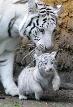 Carnivore – Mammifère – Mère – Mignon – Sauvage – Tigre blanc – Tigreau