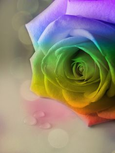 Rainbow Rose Tattoo Designs | ... Rainbow Rose Tattoo, Real Rainbow Rose, Rose, How To Make A Rainbow