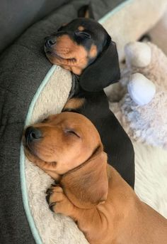 Top Funny Dachshund Sleeping Positions And What They Mean Each dachshund or other dog, even with the same breed has a unique personality. Owning a& The post Cutest Doxie Dog Puppies Sleeping appeared first on Keenan Sheepdogs. Dachshund Funny, Dachshund Puppies, Cute Dogs And Puppies, Baby Dogs, I Love Dogs, Pet Dogs, Dog Cat, Daschund, Doggies