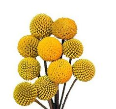 Craspedia (Billy Balls) Mayesh Wholesale Florists - Search our Flower Library Types Of Flowers, Love Flowers, Fresh Flowers, Yellow Flowers, Beautiful Flowers, Wedding Flowers, Neon Flowers, Flower Names, My Flower