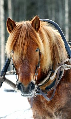 By Lehtikuva. Kuva: Pekka Sakki. Pretty Horses, Horse Love, Beautiful Horses, Animals Beautiful, Mundo Animal, My Land, Horse Head, Horse Breeds, Winter Travel