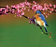 Photographic Print: Eastern Bluebird Male in Redbud Tree in Spring Marion County, Illinois by Richard and Susan Day : Pretty Birds, Love Birds, Beautiful Birds, Beautiful Lyrics, Small Birds, Little Birds, Colorful Birds, National Geographic, Mother Earth News