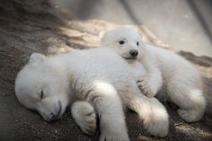 Stop What You're Doing And Look At These Baby Polar Bear Twins