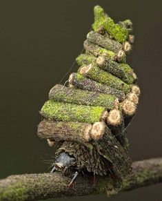 The Bagworm moth caterpillar cuts up pieces of plant to create a home., The Bagworm moth caterpillar cuts up pieces of plant to create a home. The Bagworm moth caterpillar cuts up pieces of plant to create a home. Cool Insects, Bugs And Insects, Little Log Cabin, Cool Bugs, Moth Caterpillar, Beautiful Bugs, Beautiful Butterflies, Chenille, Macro Photography