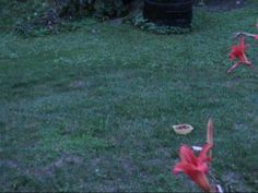 My cat VS WILD RED FOX., RED FOX BEING CHASED BY MY CAT..LOL